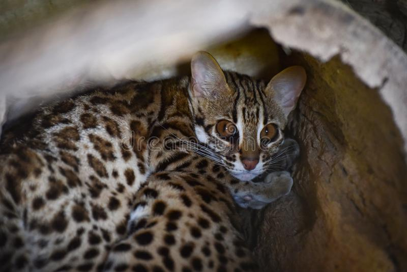 Кот леопарда стоковые изображения rf