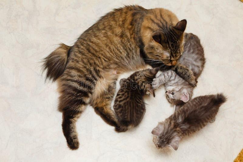 Кот мамы и 3 котят стоковое фото