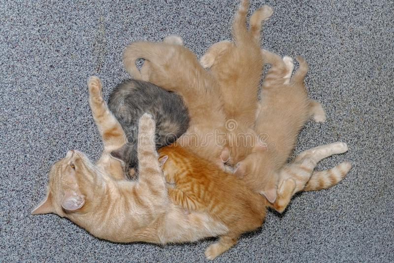 Кот матери имбиря нянча ее котят младенцев стоковые фото