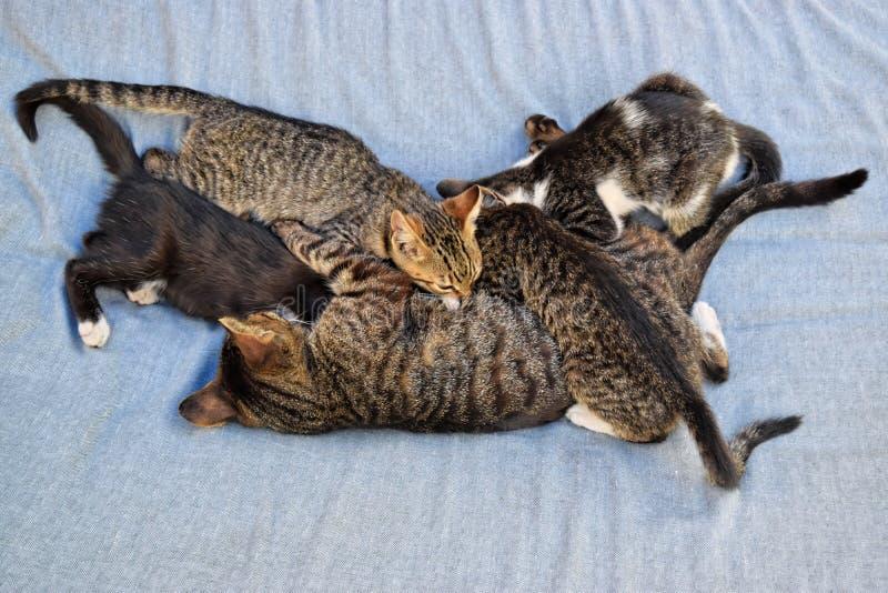 Кот матери кормит ее котят грудью стоковые фотографии rf