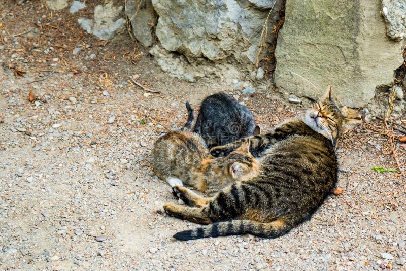 Кот матери кормя меньших котят грудью на поле стоковое фото rf