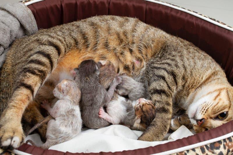 Кот матери нянчит Newborn котенка стоковые фотографии rf
