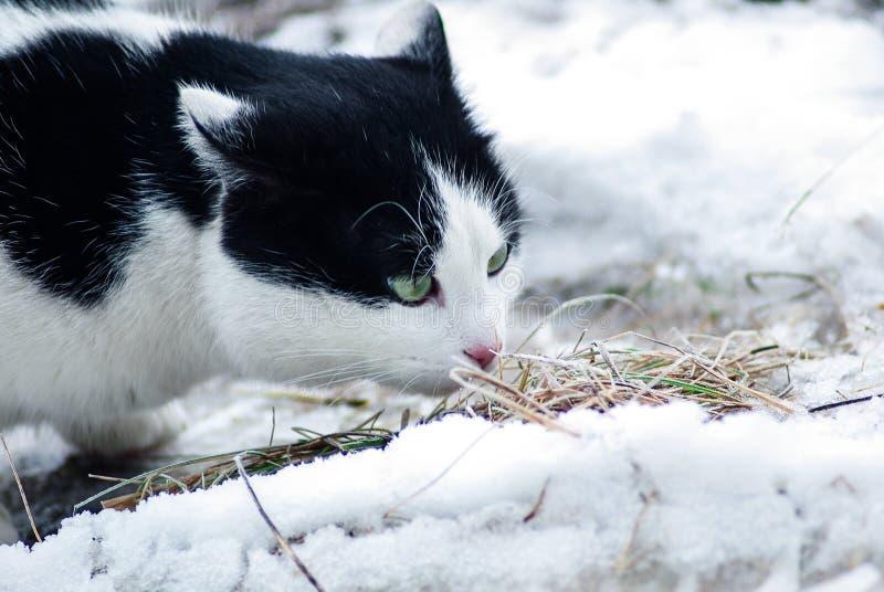 Кот наблюданный зеленым цветом exlporing стоковые фотографии rf