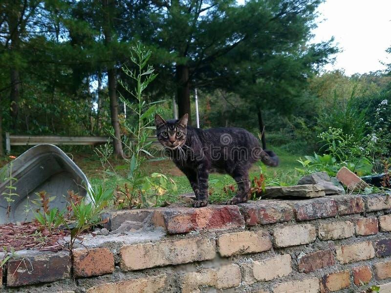 Кот на всех fours вытаращить на камере стоковое фото rf