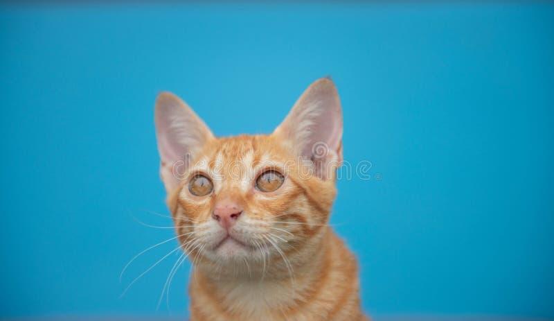 Кот на голубой предпосылке стоковая фотография rf