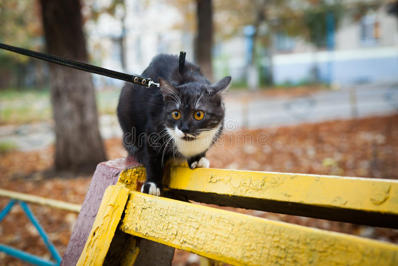 Кот на поводке играя на деревянном стенде стоковое фото