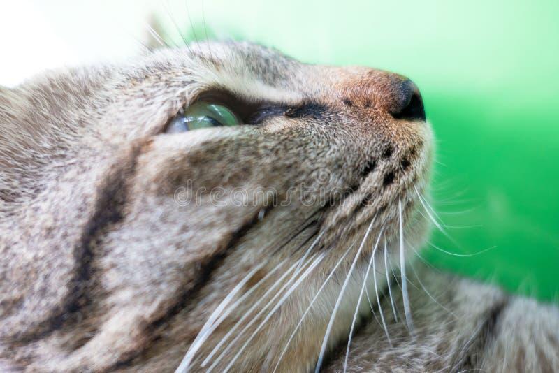 Кот носа крупного плана на зеленой предпосылке коричневый кот стоковые изображения rf