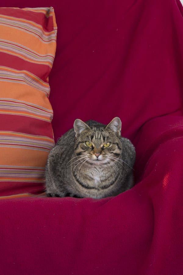 Кот отдыхая на кресле стоковое изображение rf