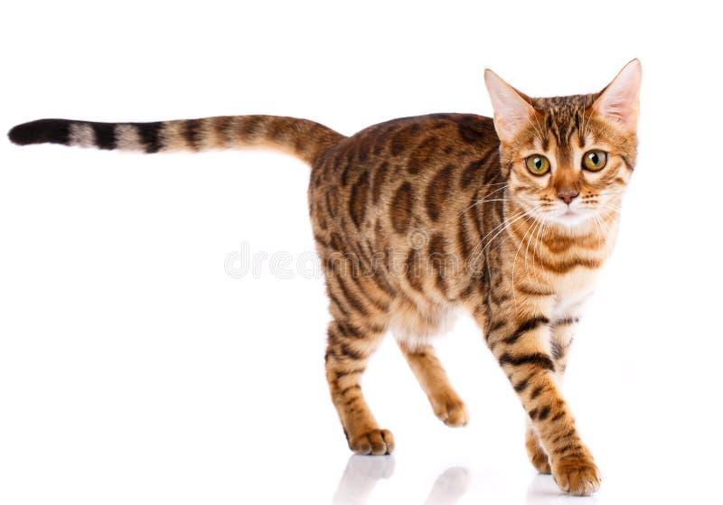 Кот племенника Бенгалии на белой предпосылке Чистоплеменный кот стоковое фото rf