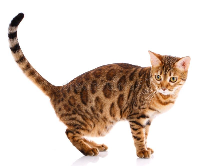 Кот племенника Бенгалии на белой предпосылке Чистоплеменный кот стоковое изображение rf
