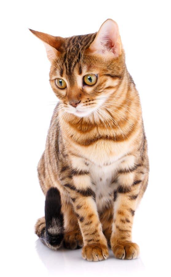 Кот племенника Бенгалии на белой предпосылке Чистоплеменный кот стоковые фотографии rf