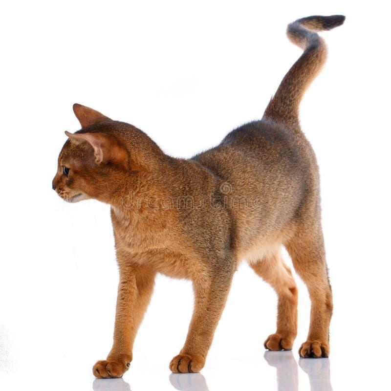 Кот племенника Abysyn на белой предпосылке Чистоплеменный кот Хорошо выхоленный котенок Концепция любимчика, комфорта и затишья стоковые фотографии rf