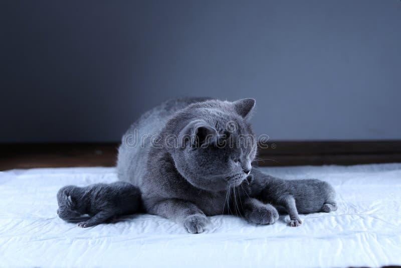 Кот позаботить об ее котята новорожденного, черная предпосылка стоковые изображения
