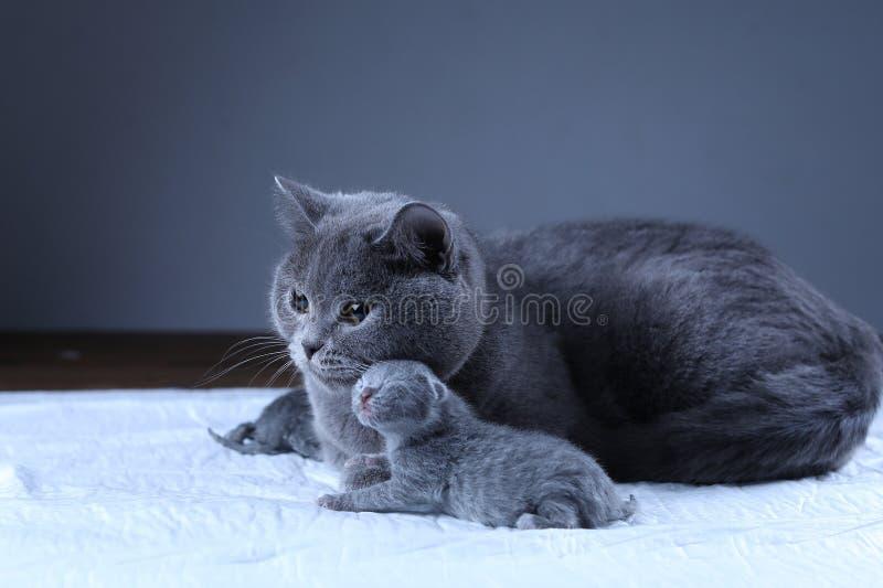 Кот позаботить об ее котята новорожденного, черная предпосылка стоковая фотография