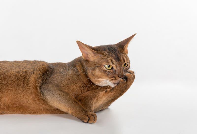 Кот портрета любознательный абиссинский лежа на земле анимизма белизна изолированная предпосылкой стоковое фото