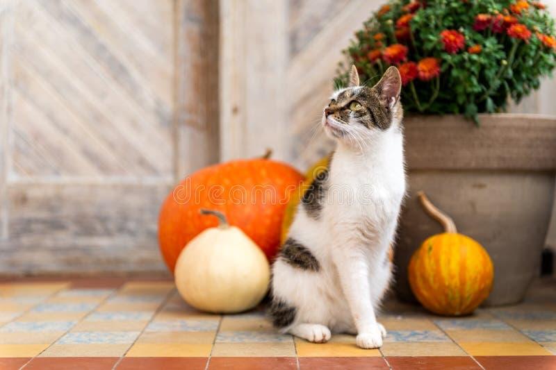 Кот при ампутированная нога сидя перед парадным входом украшенным с тыквами Парадное крыльцо украшенное на благодарение стоковые изображения rf