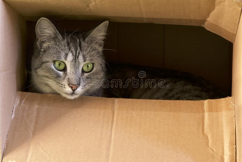 Кот пряча в бумажной коробке, любознательном котенке в коробке Кот играет прятк в картонной коробке Кот играет и прячущ в карточк стоковые фотографии rf