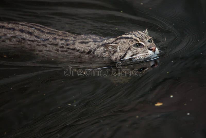 Кот рыбной ловли & x28; Viverrinus& x29 Prionailurus; стоковые изображения