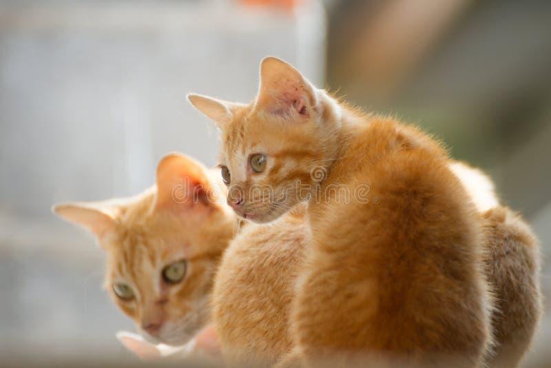 Кот семьи тайский стоковые изображения rf