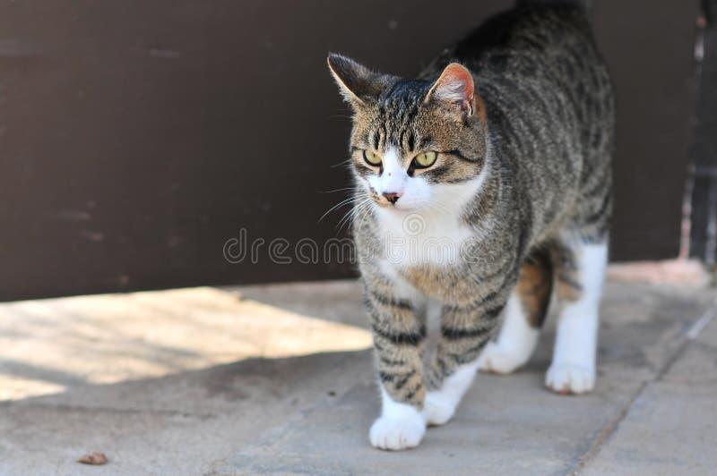 Кот серого цвета и белых striped случайный - catus кошки - положение на бетоне стоковая фотография rf