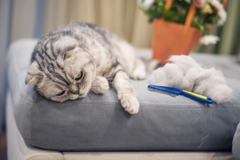 Кот серого цвета striped сокращать-ушастый на софе и куча шерстей и щетки для волос близко стоковые фотографии rf