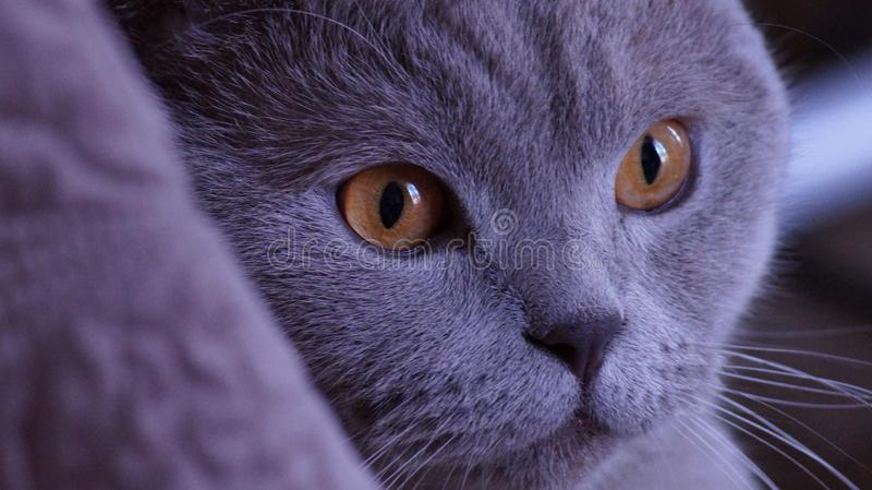 Кот серый, желтый глаз британцев Shorthair стоковое фото