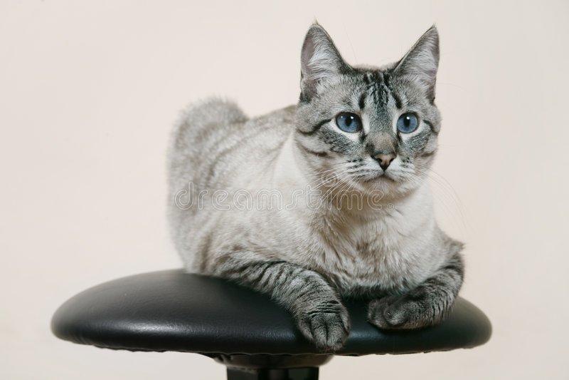 кот сиамский стоковая фотография rf