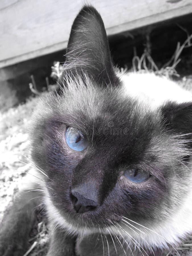 кот сиамский стоковые фото
