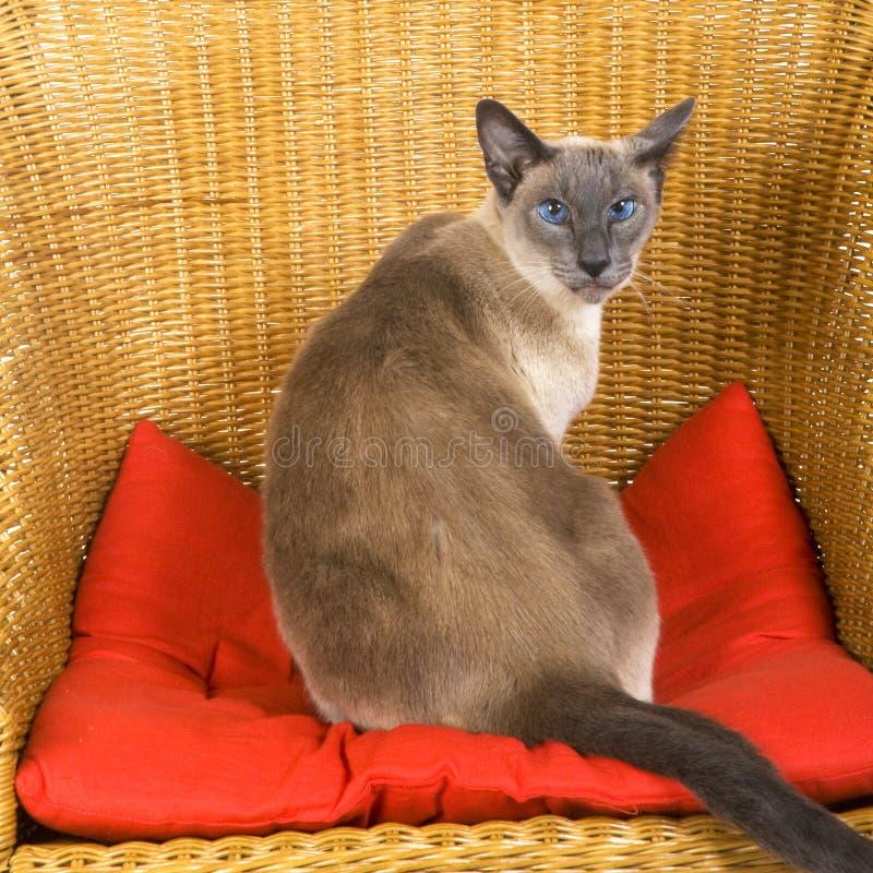Download кот сиамский стоковое фото. изображение насчитывающей отечественно - 6862726