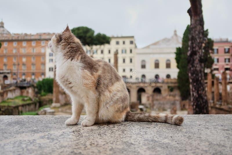 кот сидит и смотрит awayon Largo di Torre Аргентина, квадрат в Риме, Италии Много котов живя в старых римских руинах стоковые изображения rf