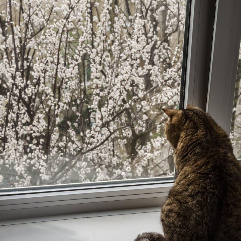 Кот сидит на окне весной Цвести фруктовые деревья вне окна стоковые изображения