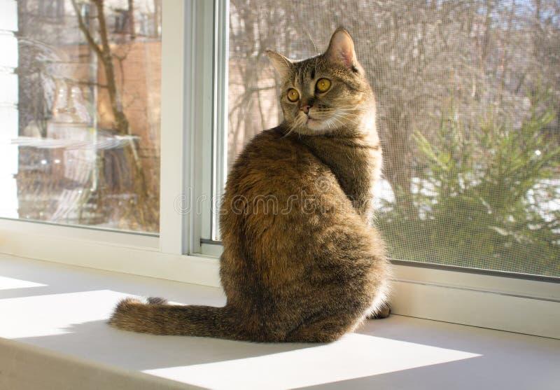 Кот сидит на windowsill и рассматривать плечо внутри открытого окна с сеткой от комаров стоковые изображения rf