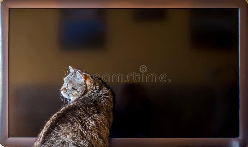 Кот сидит около экрана ТВ стоковые фотографии rf