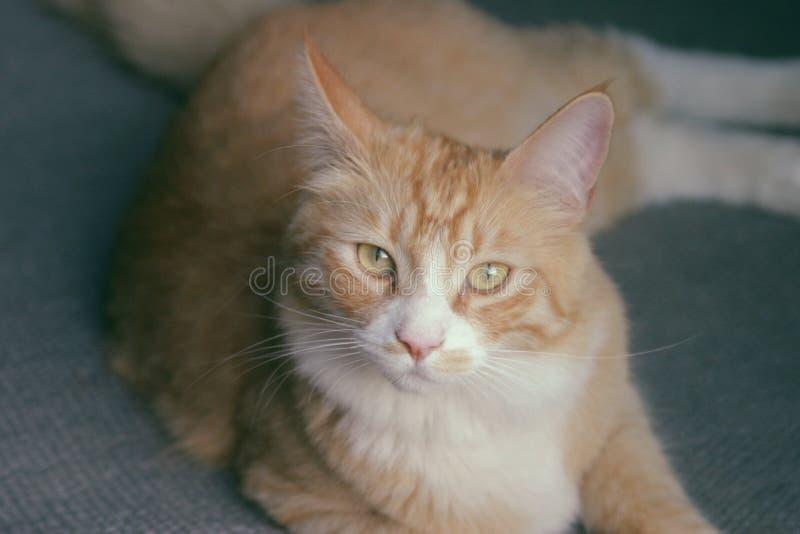 Кот сладкого апельсина назвал Томми стоковое фото