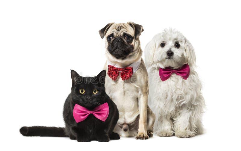 кот Смешанн-породы, мопс в красном усаживании бабочки, мальтийская собака стоковая фотография rf