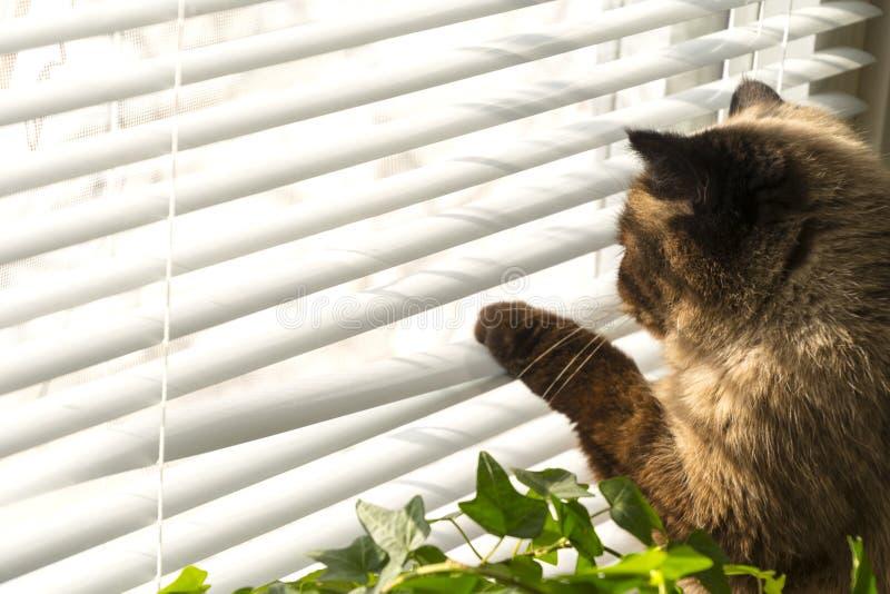 Кот смотрит снаружи через шторки окна стоковое фото