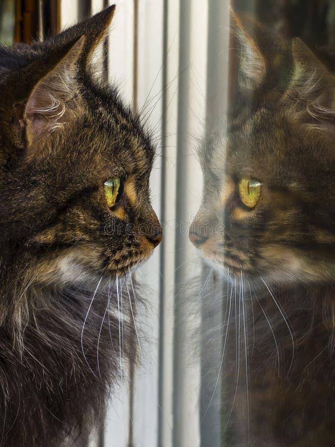 Кот смотря свое собственное отражение в окне стоковая фотография rf