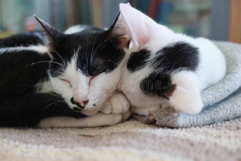 Кот 2 спать совместно стоковая фотография rf