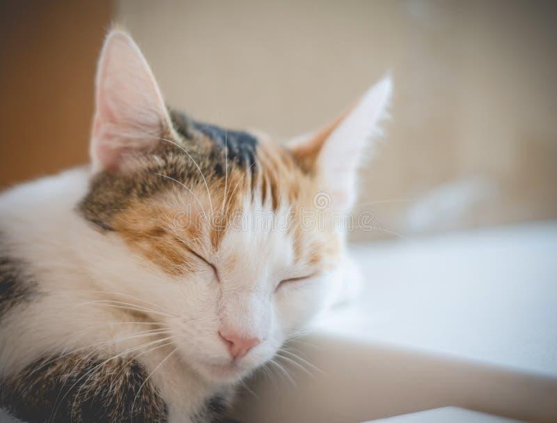Кот спать tricolor Милый котенок стоковое изображение