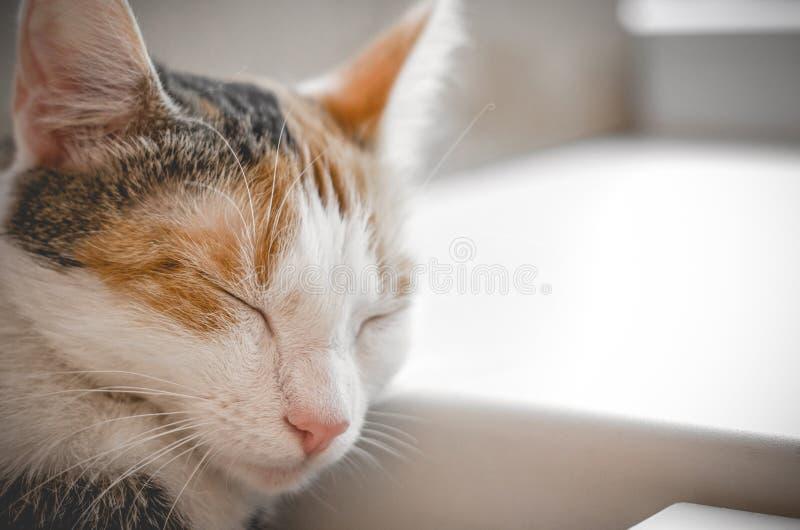 Кот спать tricolor Милый котенок стоковые фотографии rf