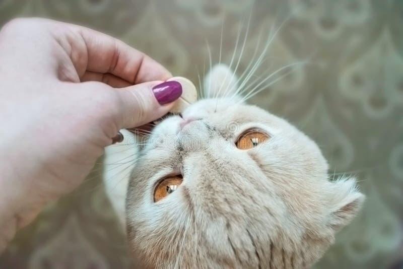 Кот створки Scottish с глазами золота принимает конец пилюльки вверх Женщина стоковые фотографии rf