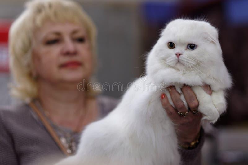 Кот створки Scottish с различными глазами стоковая фотография