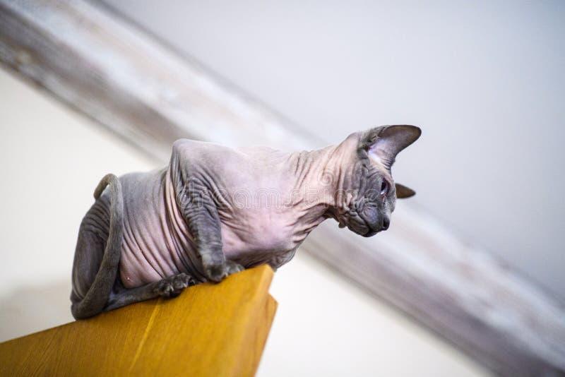 кот сфинкса дома стоковые изображения rf