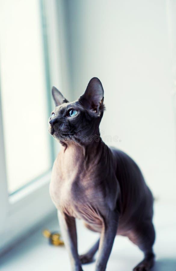 кот сфинкса дома стоковая фотография rf