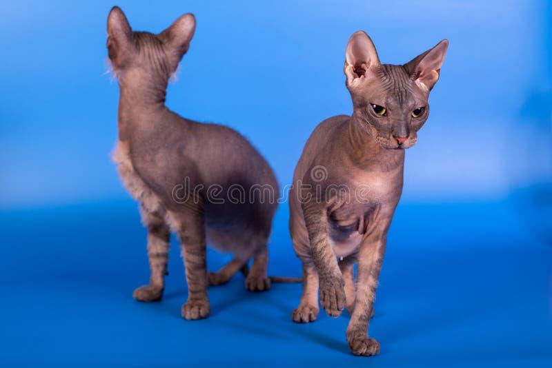 Кот сфинкса на голубой предпосылке стоковая фотография
