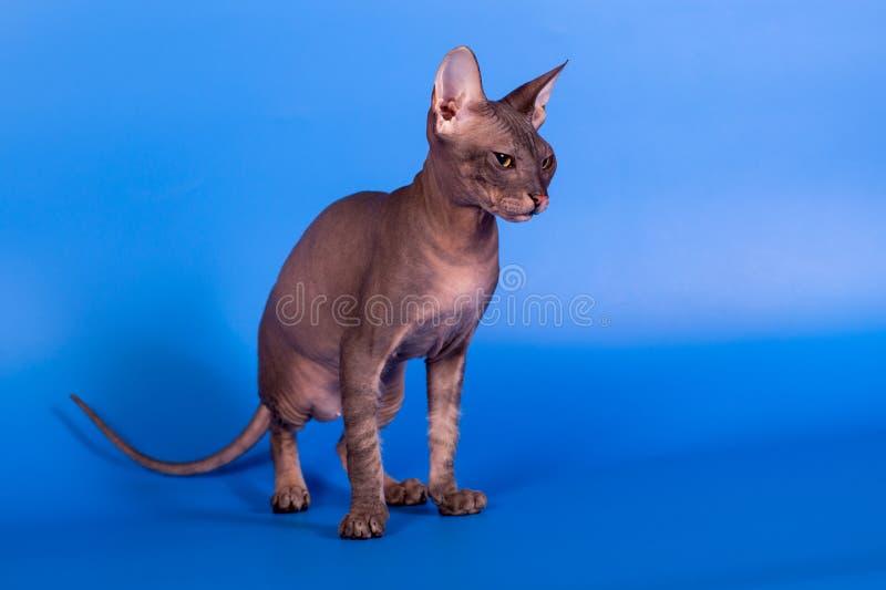Кот сфинкса на голубой предпосылке стоковое изображение