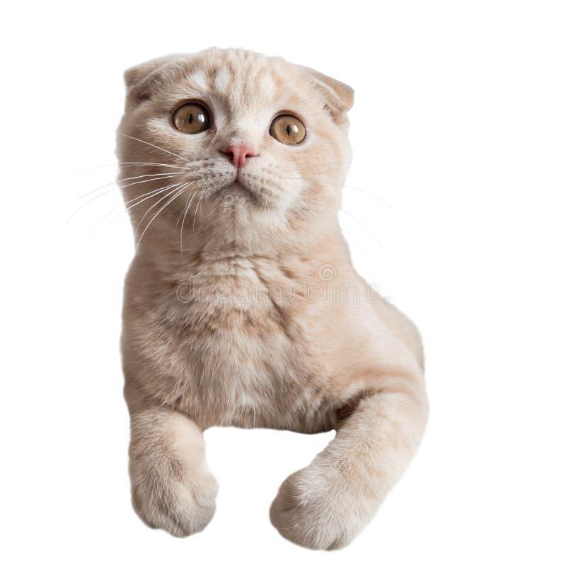 Кот с большими удивленными глазами на белой предпосылке кот шальной Котенок створки Scottish стоковое изображение rf