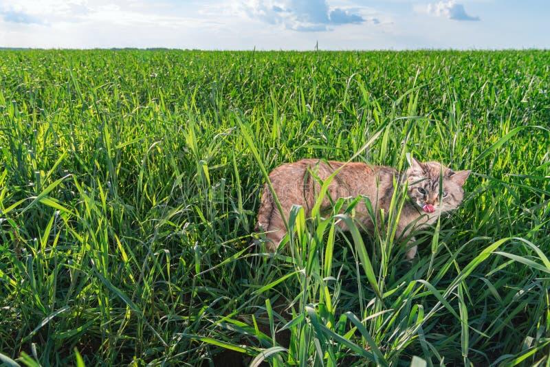 Кот с голубыми глазами идет среди травы на зеленом поле в солнечном летнем дне Кот лижет его нос и смотрит камеру стоковая фотография