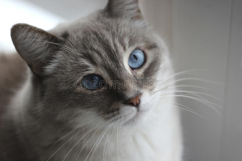 Кот с голубыми глазами стоковые изображения rf