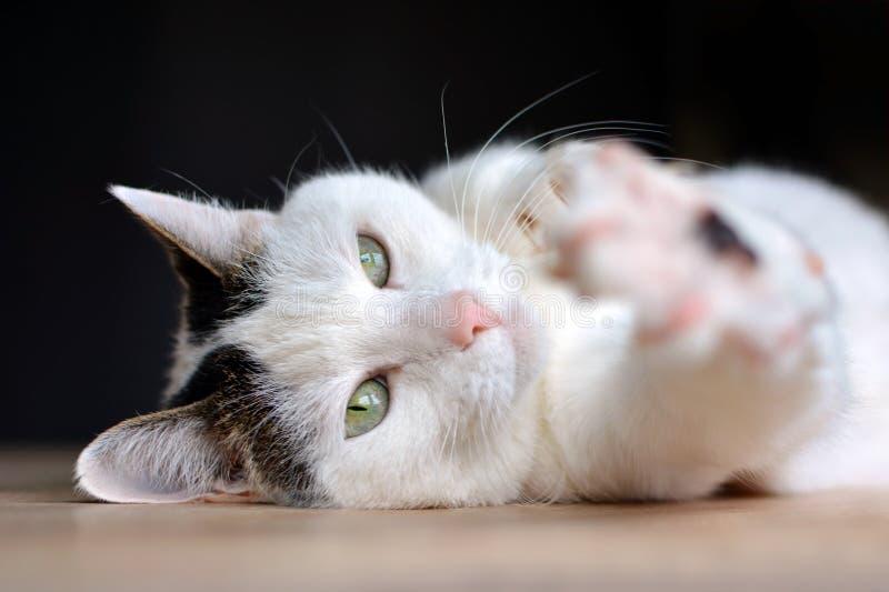 Кот с зелеными глазами и розовым носом лежа на деревянном поле протягивая вне расплывчатую камеру todwards лапки на темной предпо стоковая фотография